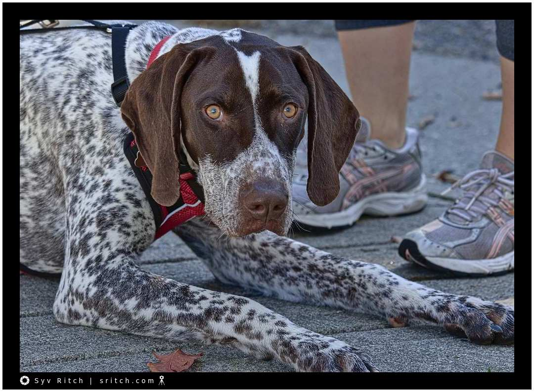 Beaumont is a young German Short-haired Pointer with amazing piercing eyes