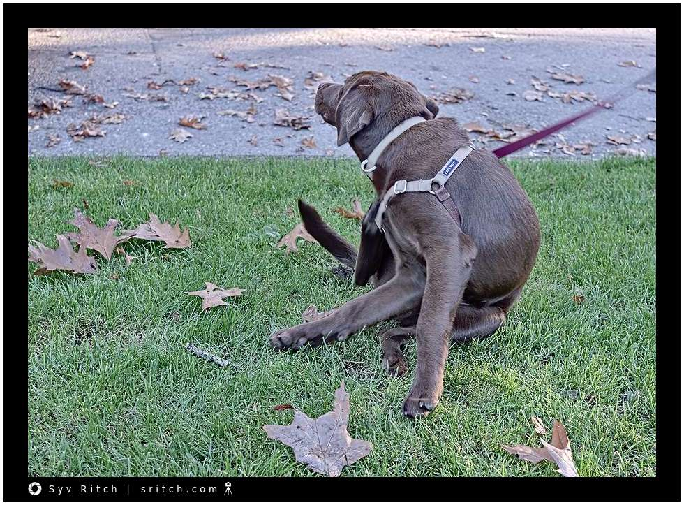Chocolate Lab scratching herself