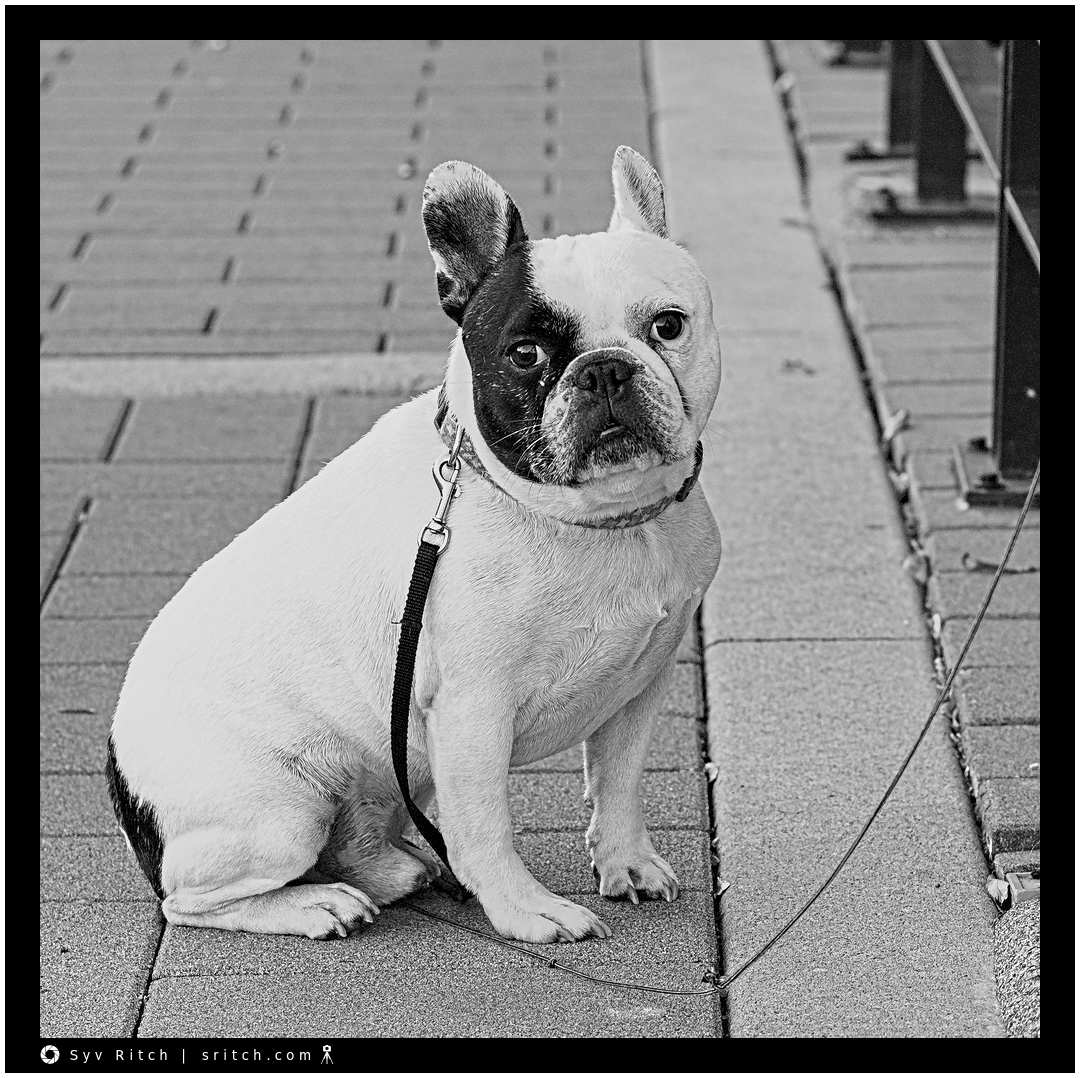 French Bulldog waiting for a long time very patiently on the sidewalk in front of a restaurant