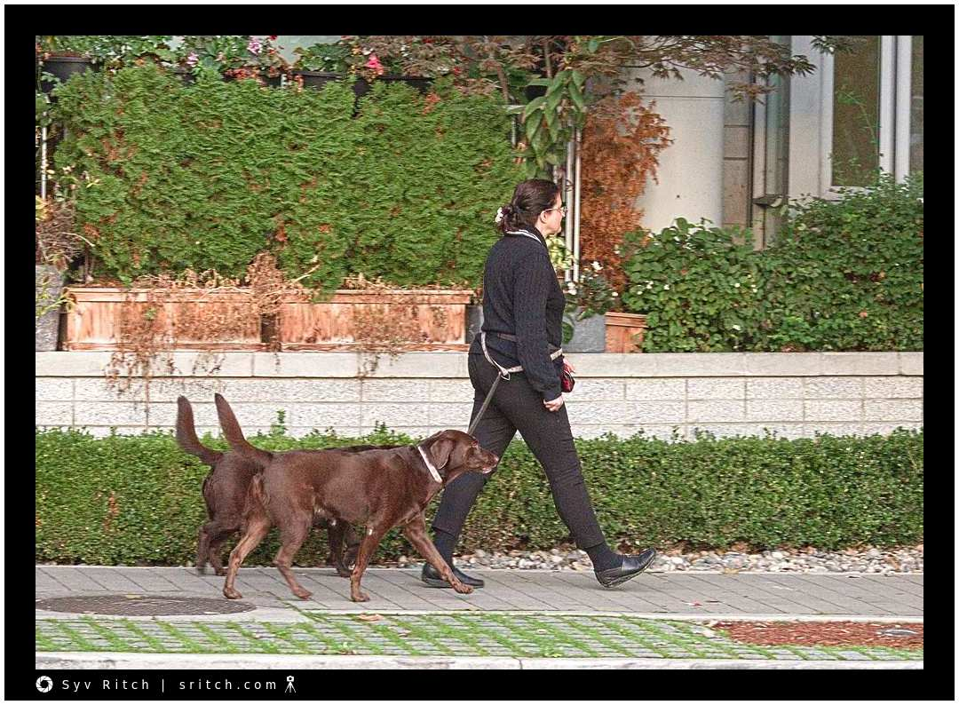 lady walking with 2 chocolate labs. She's the master of the walk