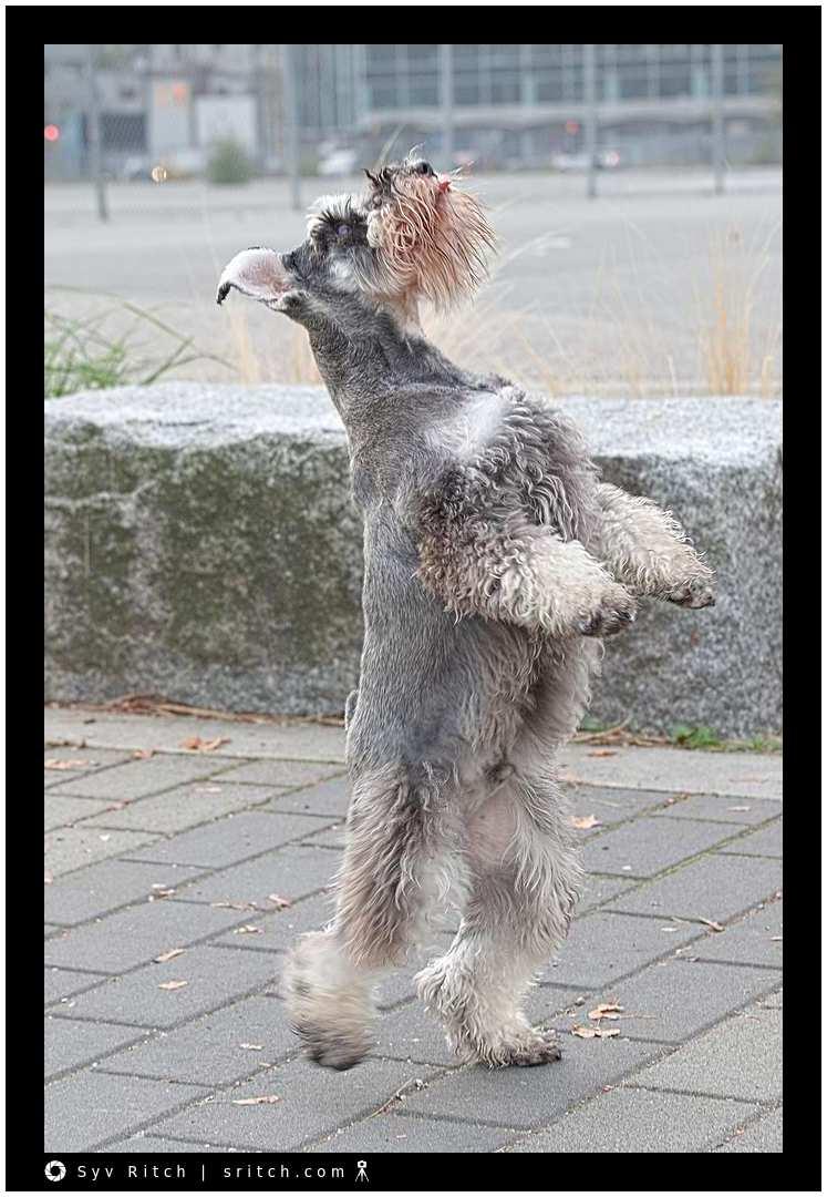Dancing Schnauzer