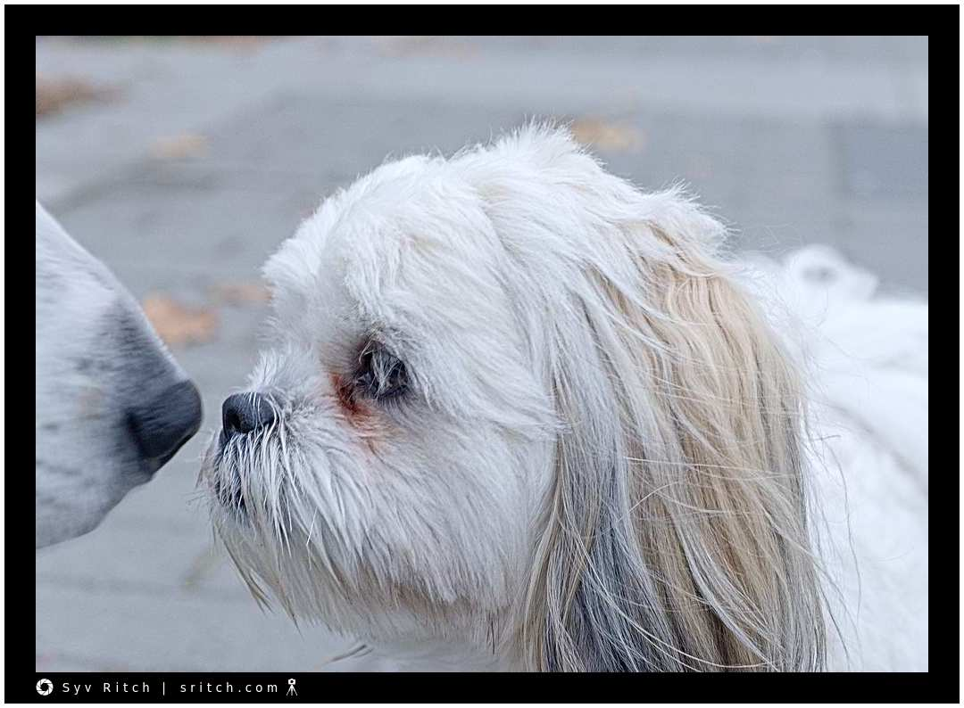 Two dogs (a Maltese and my dog) nose to nose in a non-threatening encounter