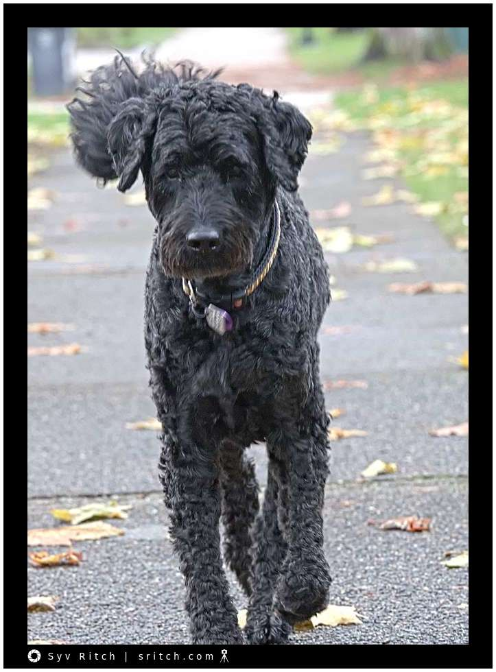 Toby, a black Labradooddle is having a very bad hair day