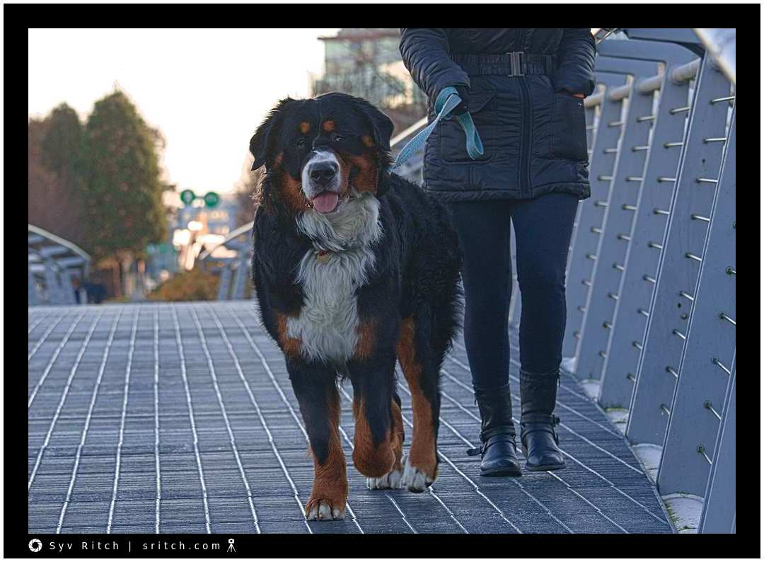 10 month old bernese mountain dog with a halti