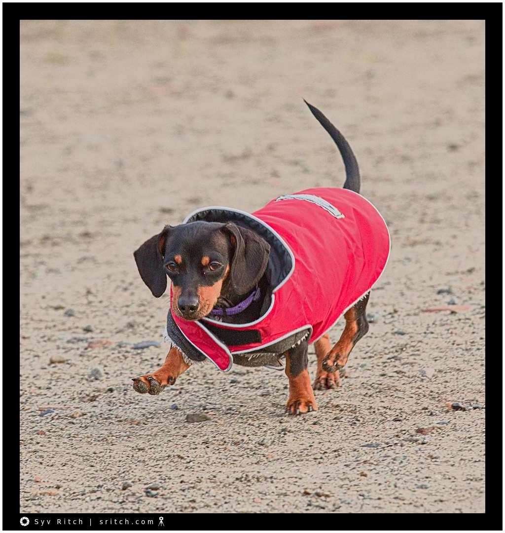 'Sausage' wearing a red coat