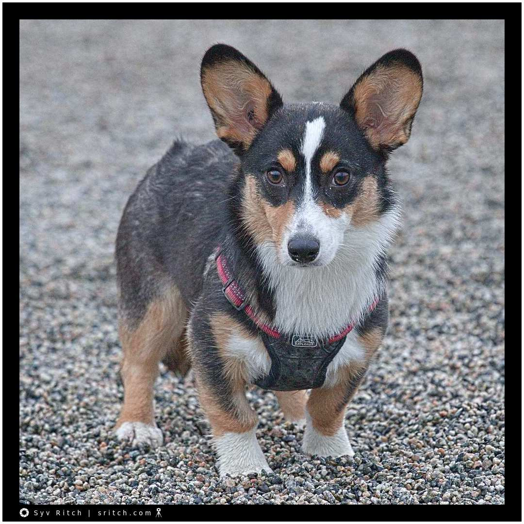 Cora is a 6 month old Pembroke Corgi: Vancouver, BC