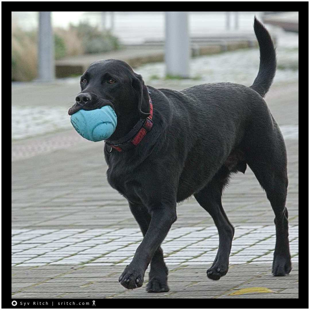 black lab carrying his football
