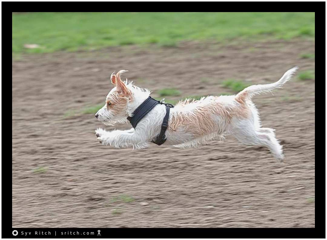 4 month old Jack Russell full of energy