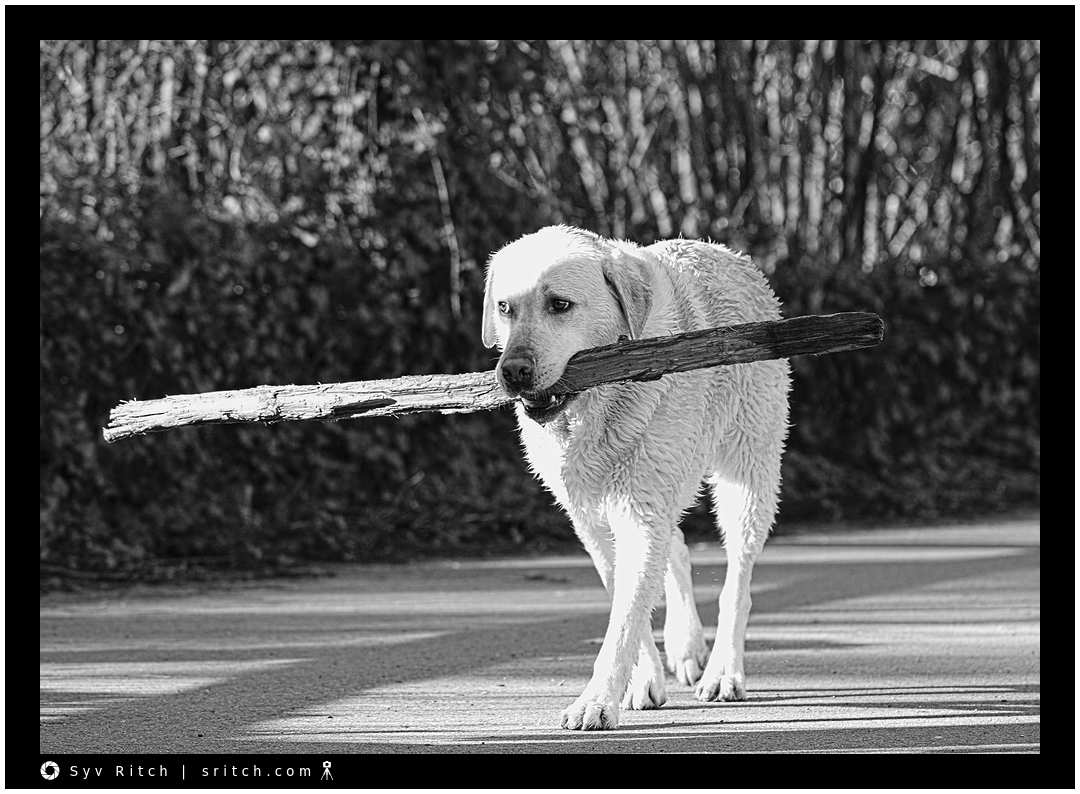 Golden Lab carrying a huge stick