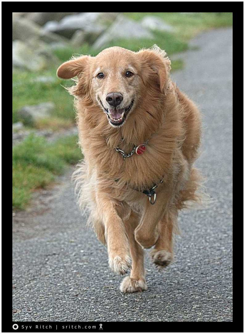Golden Retriever running to catch-up