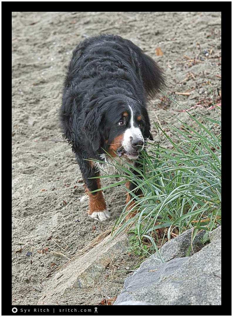 Bernese Mountain puppy eating grass