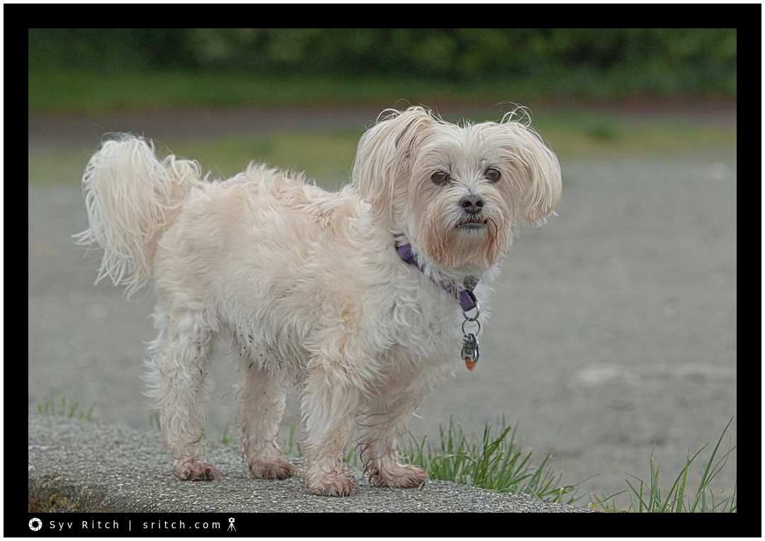 Coco is mostly a Maltese
