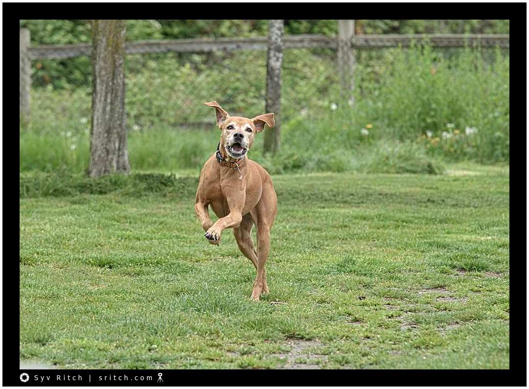 old Rhodesian Ridgeback but still running around