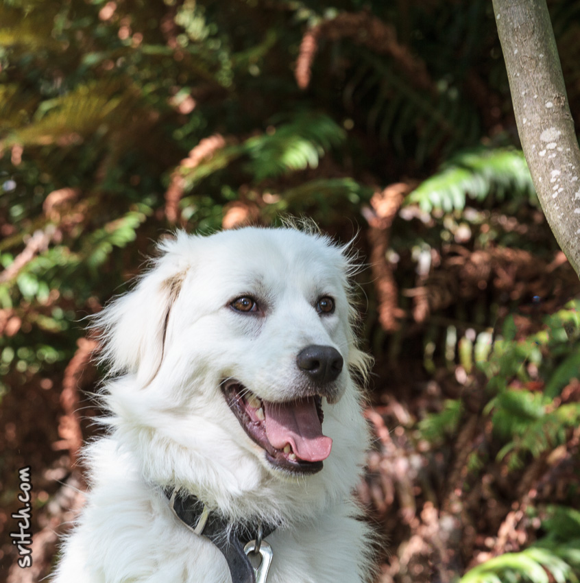 Ethelbert (maremma) used to be my dog, Vancouver, BC