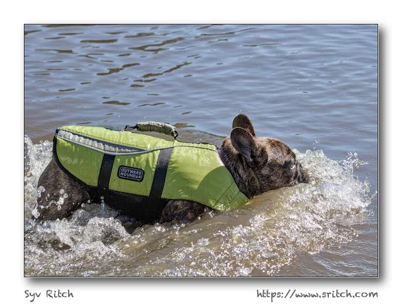 french bulldog jumping in the lake