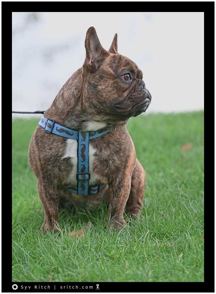 1 year old Frenchie
