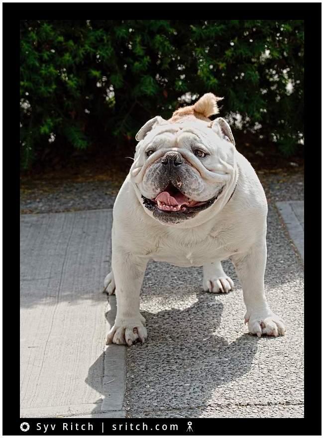 Otis, Bulldog, Vancouver, BC