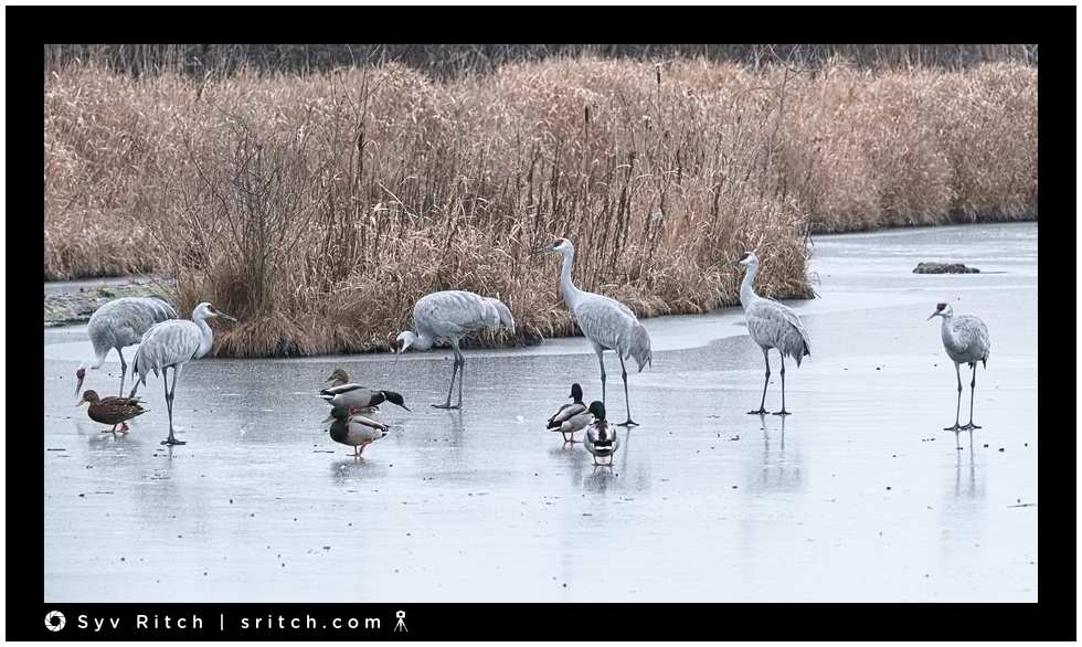 sandhill cranes on frozen pond
