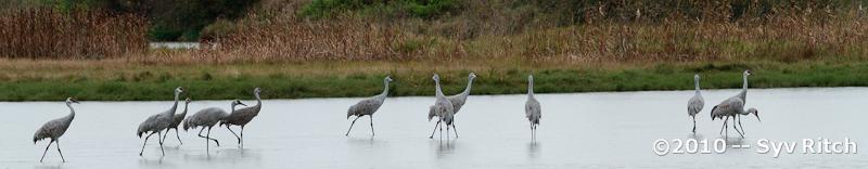 US Sandhill Crane Flock