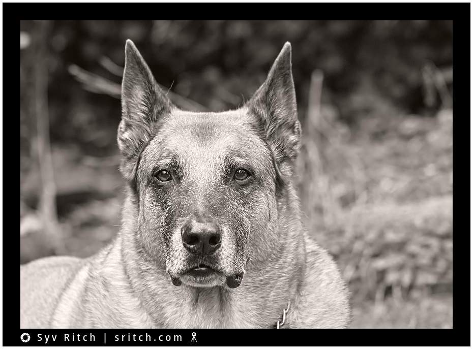 old dog in black and white