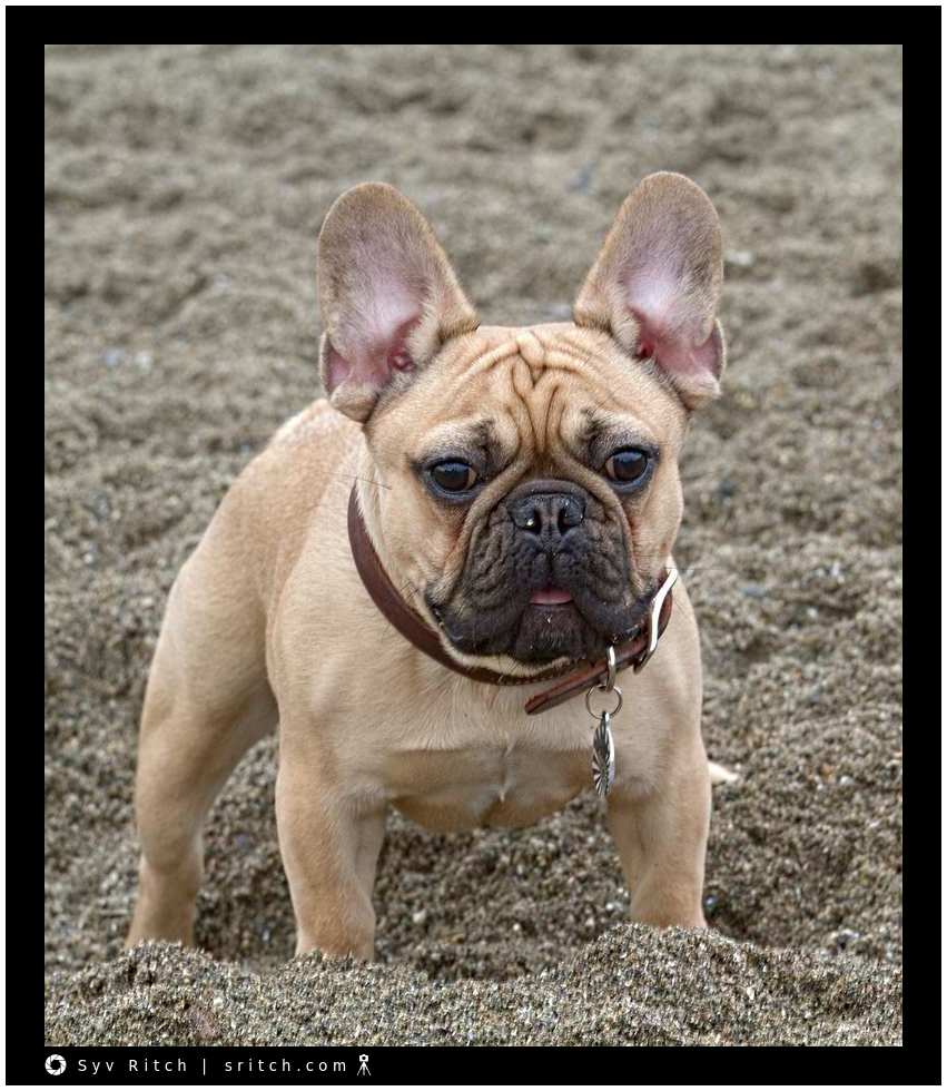 French Bulldog at the beach in the sand