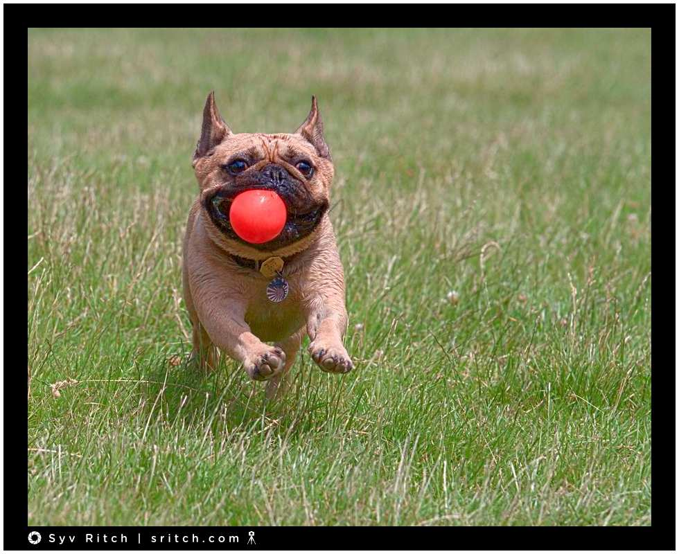 french bulldog running in the grass