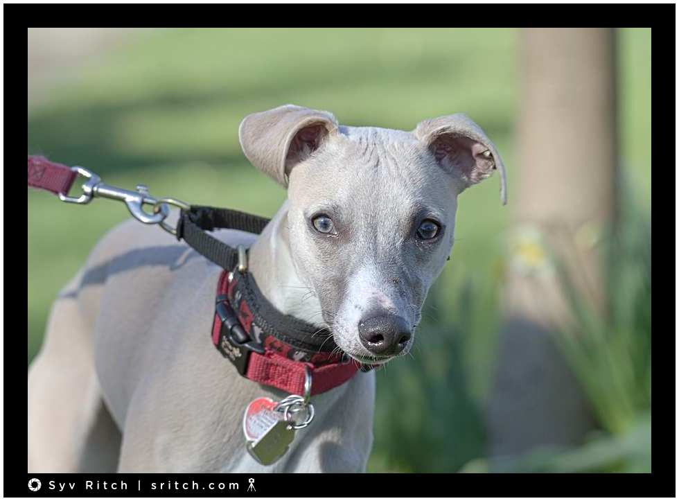 Whippet: Vancouver, BC